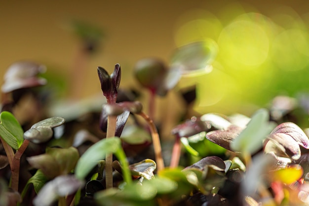 Salad micro greens growing bunch close up