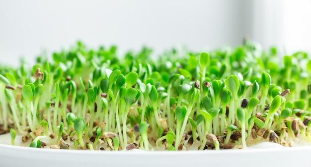Салат на подоконнике. микрогрин растет. веганский и здоровое питание