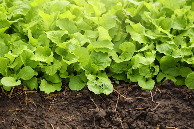Salad plots are grown on fertile soil with nutrients.