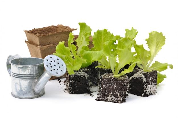 Salad shoots
