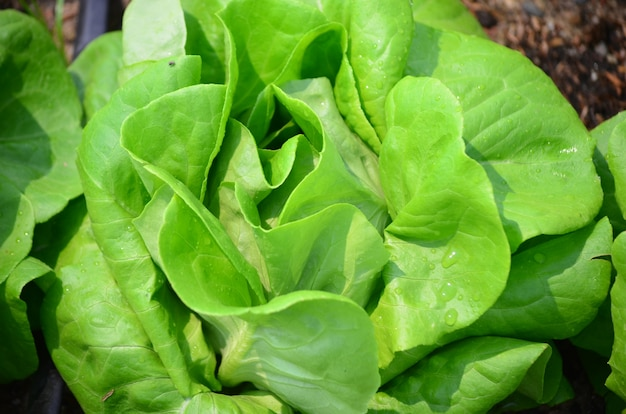 Salad vegetable for healthy food on farm