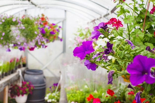 Продажа разноцветных петуний, выращиваемых в теплице. выборочный фокус. крупный план