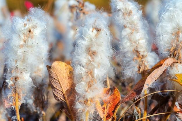 ホッキョクヤナギ-北極ヤナギ-小さな忍び寄るヤナギ科ヤナギ科、低思春期の低木、絹のような銀色の毛。ツンドラ、秋の季節に非常にゆっくりと成長する植物の拡大図。