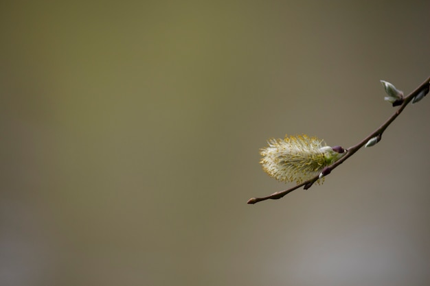 Salix caprea goat willow also known as the pussy willow or great sallow is a common species of willo...