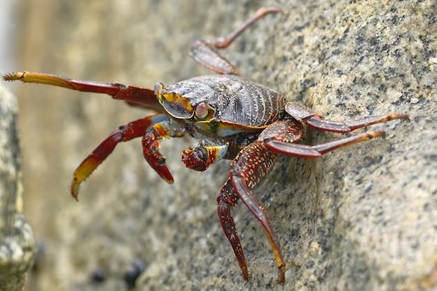 サリーライトフットカニまたはロックカニ(grapsus grapsus)は、波が当たった岩の間で食べ物を探しています。