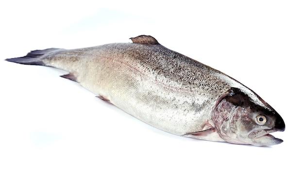 Лосось. красная рыба крупным планом на белом
