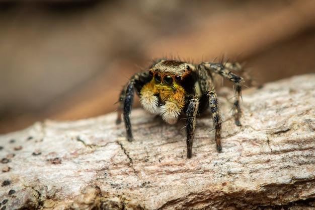 ハエトリグモ(salticidae)の画像、昆虫。動物。