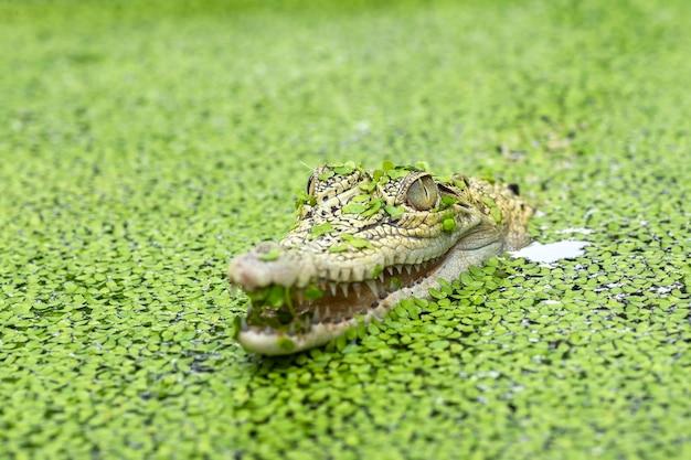Морской крокодил в пруду, полном водорослей