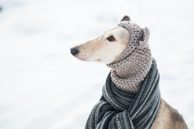 Saluki in knit hat and scarf in winter forest close up portrait. side view