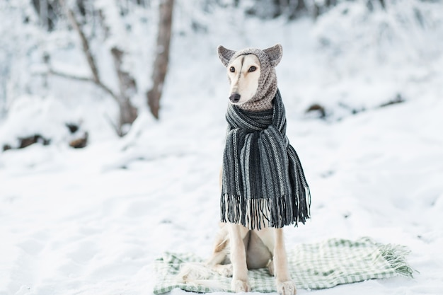 Saluki in knit hat and scarf in winter forest portrait.