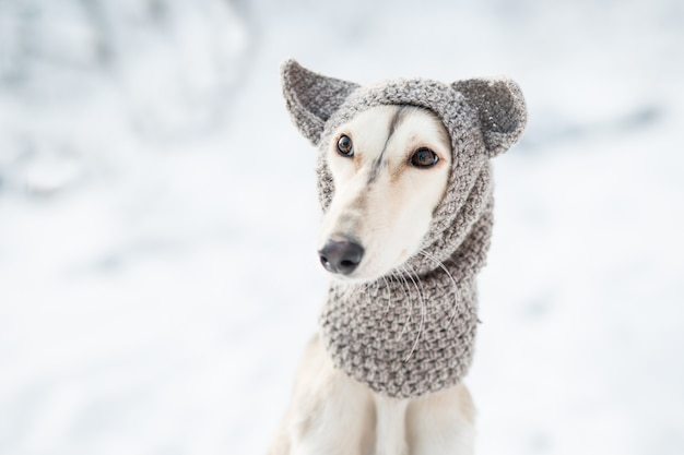 Saluki sitting in knit hat winter forest close up portrait. high quality photo