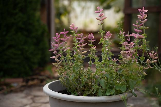 Salvia flower in a pot the concept of an ecofriendly garden