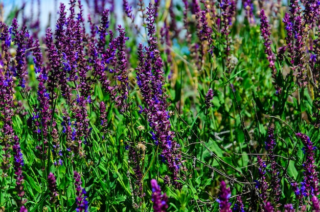 Salvia flowers on a meadow on summer