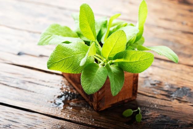 小さな植木鉢のサルビアオフィシナリス