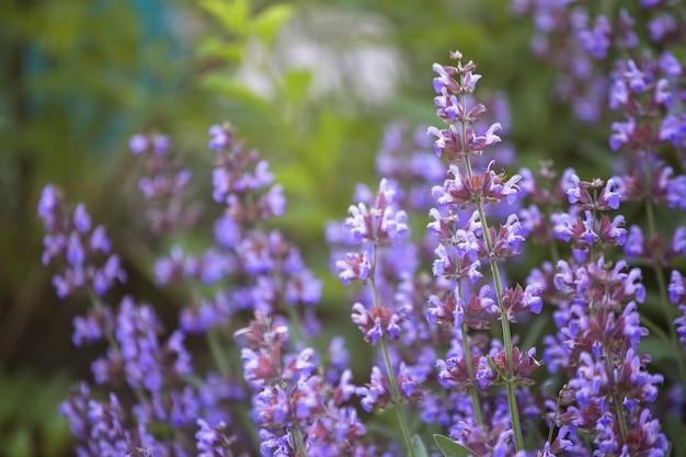 夏の庭の草原のサルビアプラテンシス、草原のクラリーまたは草原のセージの紫色の花。夏と春の開花中の薬用植物のコレクション。