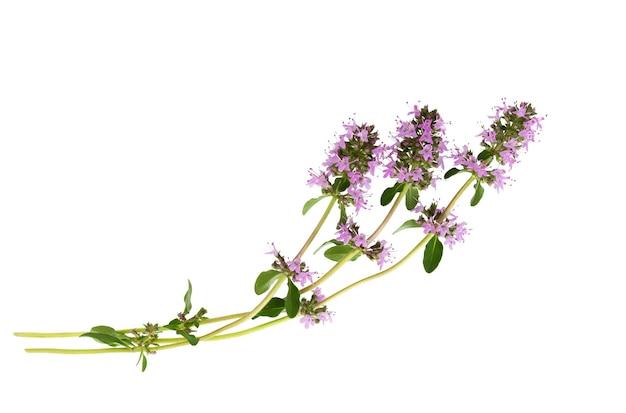 Salvia sclarea, clary, or clary sage  isolated on white background. salvia sclarea herb. clary sage herb.