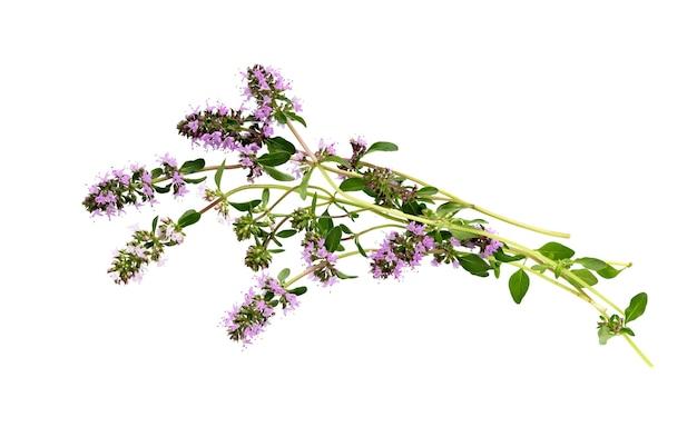 Salvia sclarea  or clary sage on white.