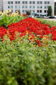 Salvia splendens. red flower. scarlet sage. sage sparkling