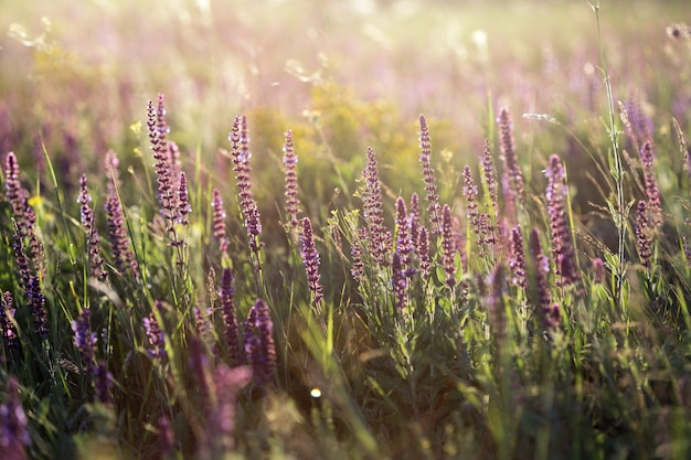 Salvia. summer meadow with sage in sunset time