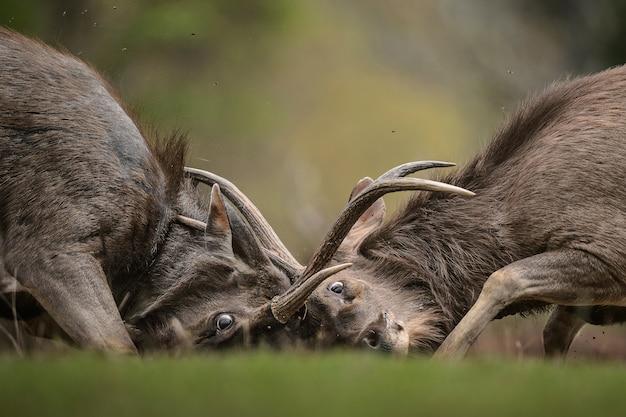 Sambar deer stags fighting - rusa unicolor