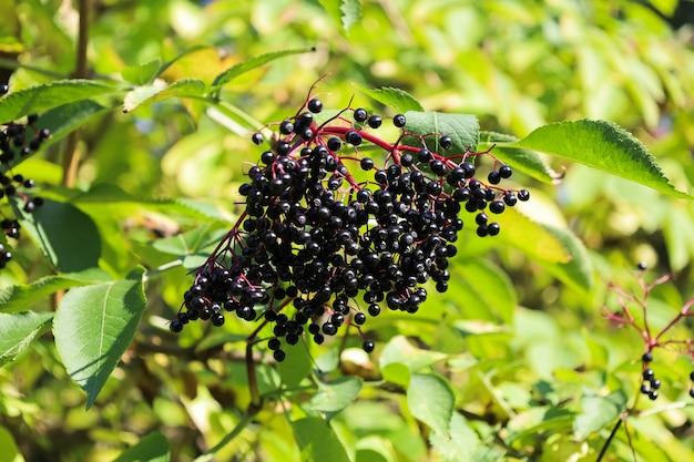 Sambucus nigra fruits bright elderberry black ripe elder berries on twig interesting nature concept ...