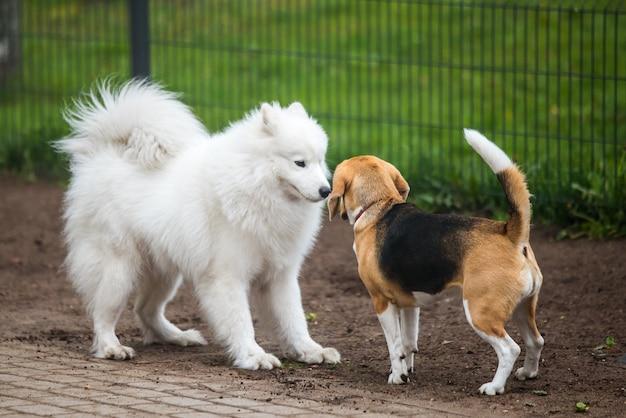 Самоедская собака и бигль в забавной игре в парке