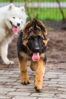 サモエド犬と動きのあるジャーマンシェパードが公園で遊ぶ
