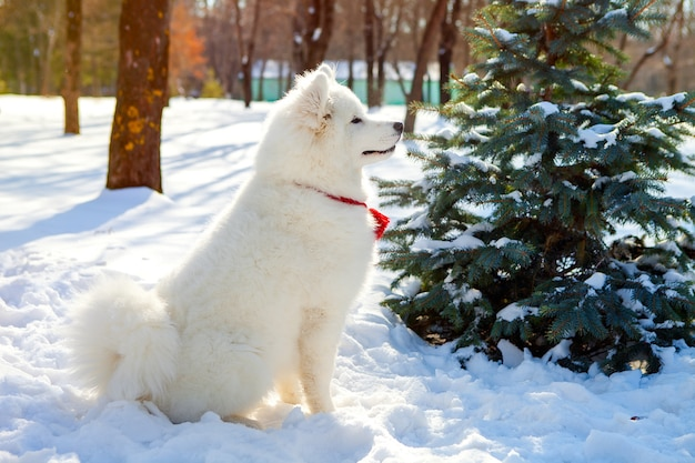 Samoyed dog in profile is sitting on the snow in the park, doing commands. obedient pet.