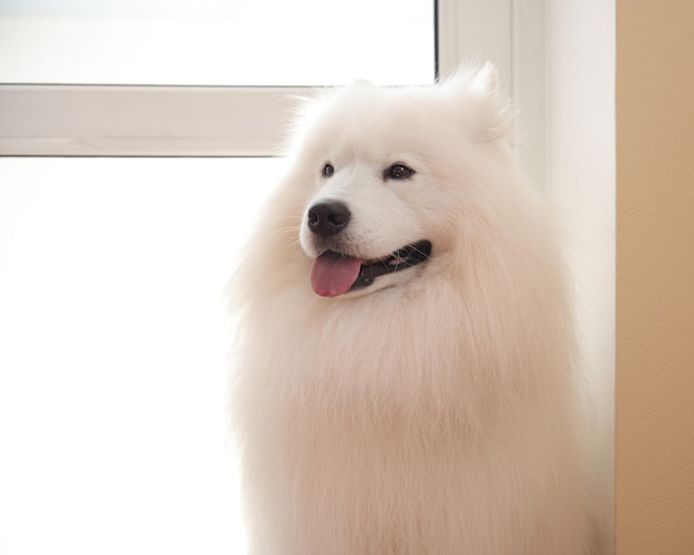 Samoyed dog sits at the door after grooming in the pet salon.
