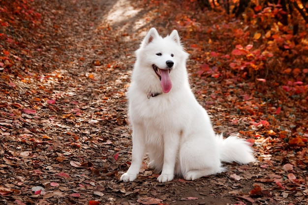 Samoyed dog sitting in autumn forest near red leaves
