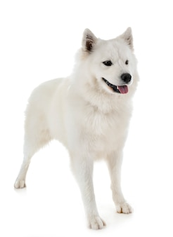 Samoyed Dog Vectors Photos And Psd Files Free Download