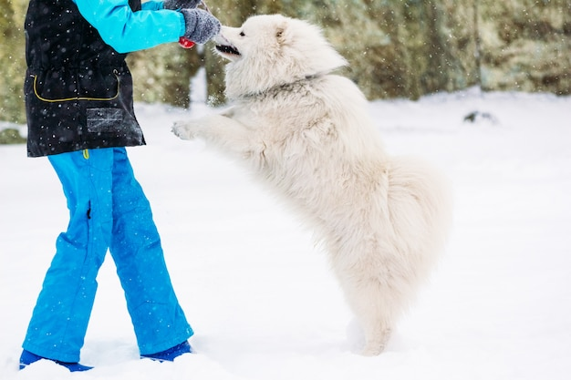Samoyed light-colored playing with the hostess