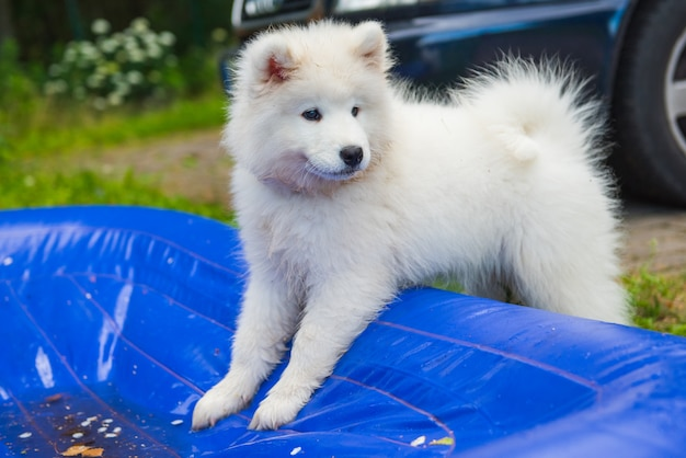Samoyed puppy dog stand in plastic mattress