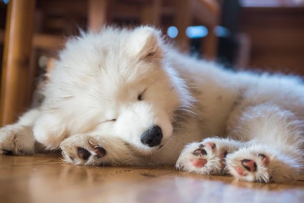Щенок самоеда лежит на полу и спит