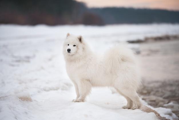 사모예드 흰 개는 라트비아의 솔크라스티 해변에 눈이 있습니다