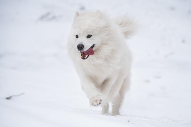 사모예드 흰 개가 겨울 배경에 눈 밖에서 실행 중입니다.