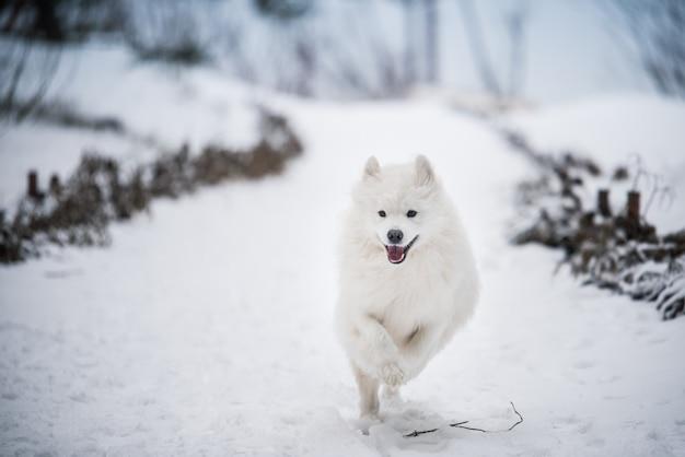 Самоедская белая собака бежит по снегу на зимнем фоне