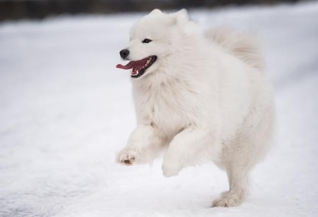 사모예드 흰 개가 겨울 풍경에 눈 밖에서 달리고 있습니다.