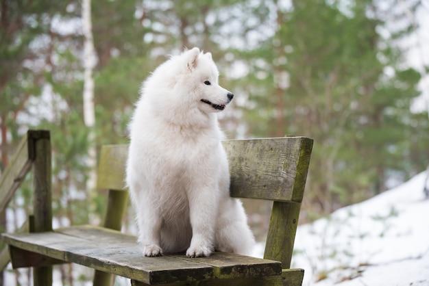 Белая самоедская собака сидит в зимнем лесу на скамейке.