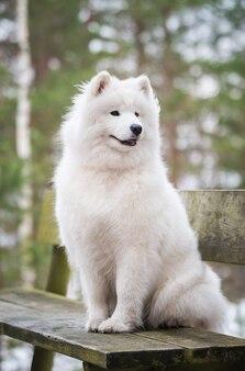 사모예드 흰색 개가 벤치에 있는 겨울 숲에 앉아 있다