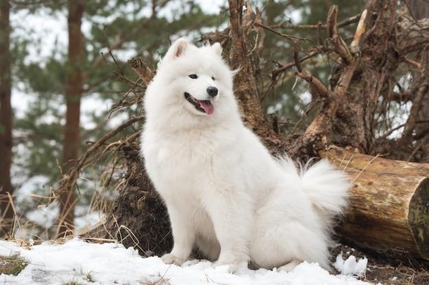 사모예드 흰 개가 겨울 숲에 앉아 있다