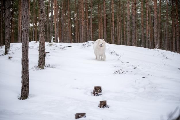 사모예드 흰 개가 겨울 숲을 걷고 있다