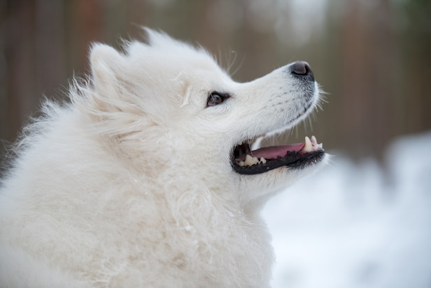 Samoyed 흰색 개 초상화 근접 촬영은 겨울 숲에 있습니다