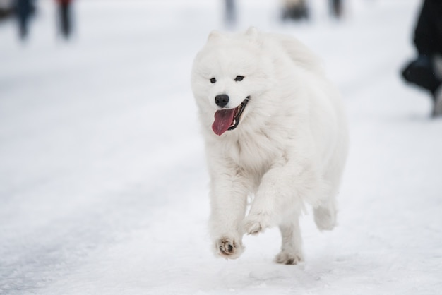 笑顔でサモエド白い犬は冬の背景に外の雪の上を走っています