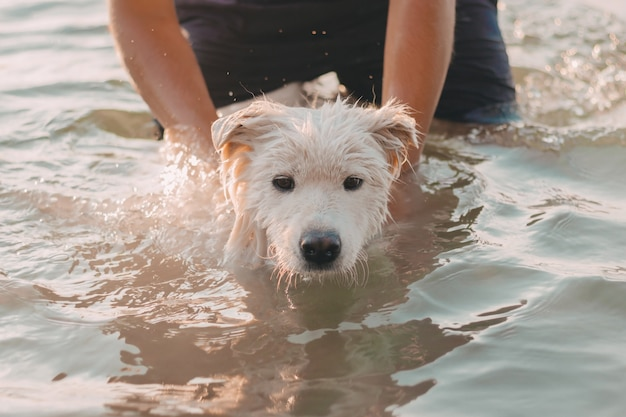 Samoyed white husky owner bathes  in a pond in nature a wet dog swims