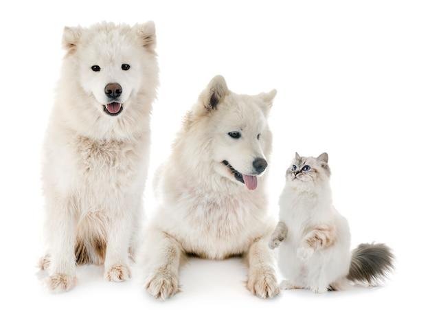 Samoyeds and birman cat