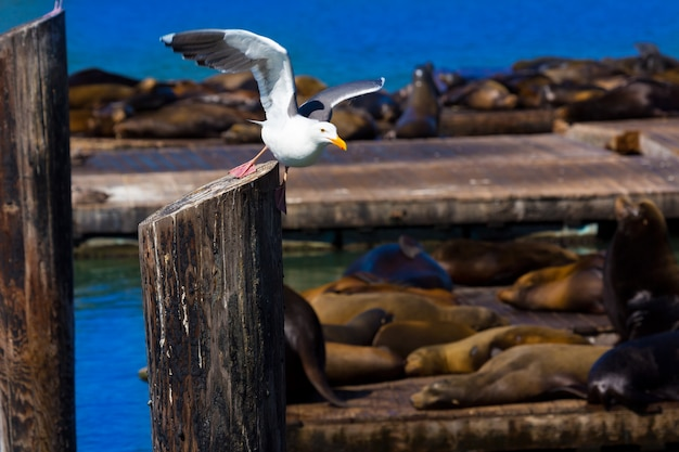 San francisco pier 39 seagull and seals at california