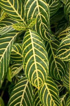 Sanchezia speciosa leonard natural abstract background