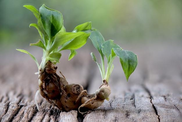 サンドジンジャーまたはケンフェリアガランガの木と自然の根茎。