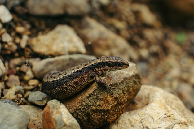 Sand lizard hiding among the rocks (lacerta agilis).